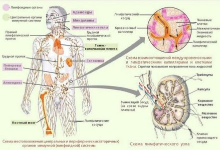 лимфа в остеопатии